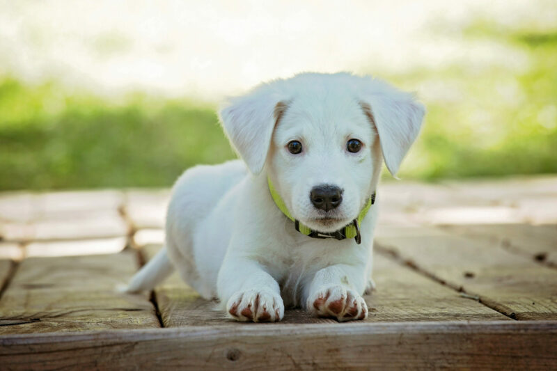 Buyer's Guide: How to Choose the Right Collar for Your Brand New Puppy