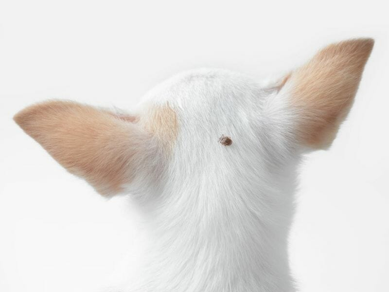 How to Remove Ticks on Your Dog