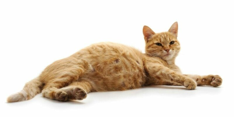 4 Ways to Help Your Pregnant Cat Before She Gives Birth