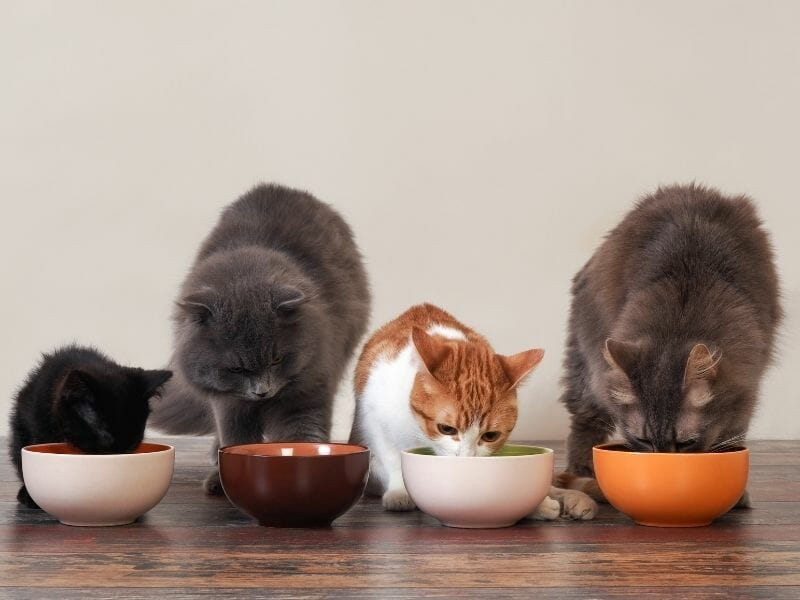 The Difference Between Kitten Food and Cat Food