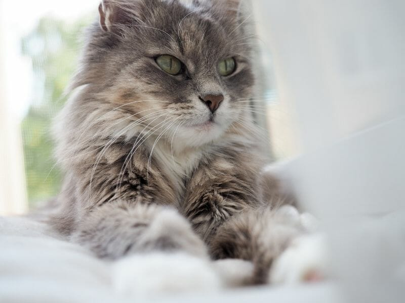 How Can I Tell if My Cat is a Senior? (6 Ways to Tell)
