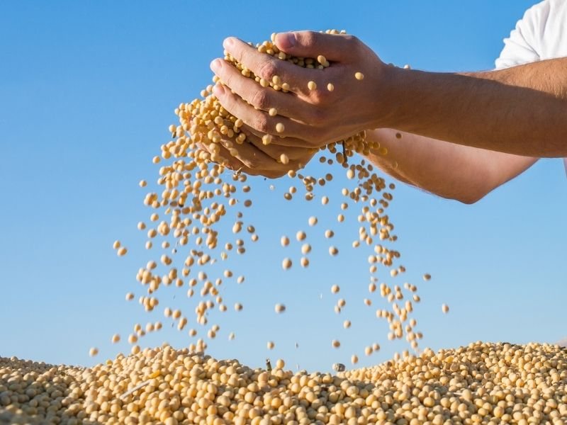 Can Cats Eat Soybeans?